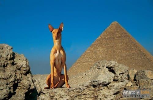егитеская фараоновая собака